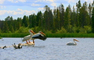 Pelicans on Shadow Mountain Lake